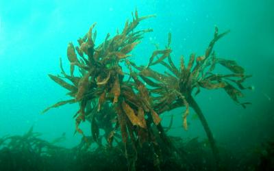 Les algues laminaires…